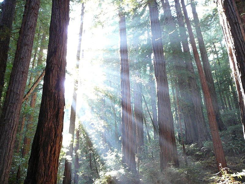Muir Woods-3