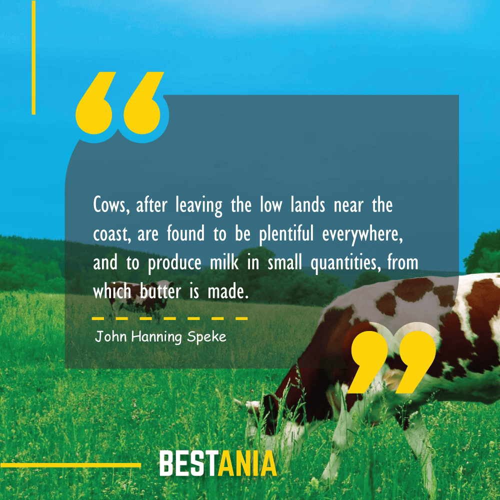 Cows, after leaving the low lands near the coast, are found to be plentiful everywhere, and to produce milk in small quantities, from which butter is made. John Hanning Speke